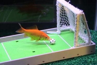 Goldfish trained to play soccer.